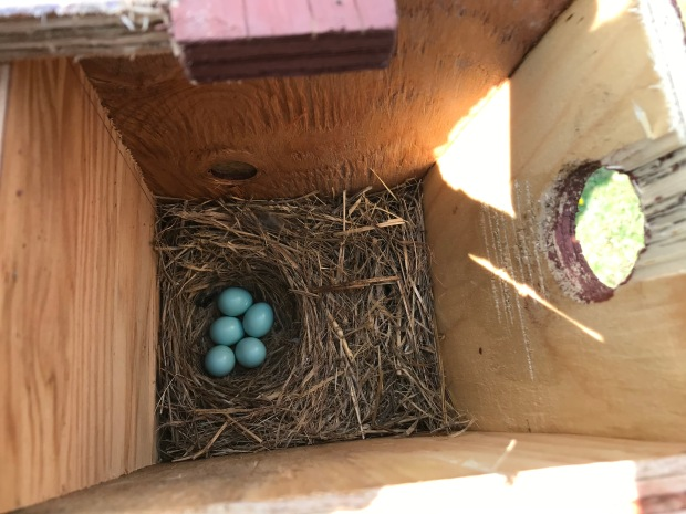 Typical Eastern Bluebird nest clutch